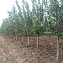 绿化专用苗西府海棠西府海棠树苗种植前景图片