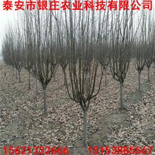 批发出售西府海棠西府海棠树多少钱一棵图片