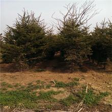 基地常年出售云杉云杉树苗价格图片
