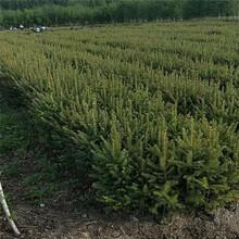 甘肃云杉种植云杉树多少钱一棵图片