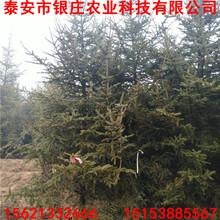 基地常年出售云杉云杉树多少钱一棵图片