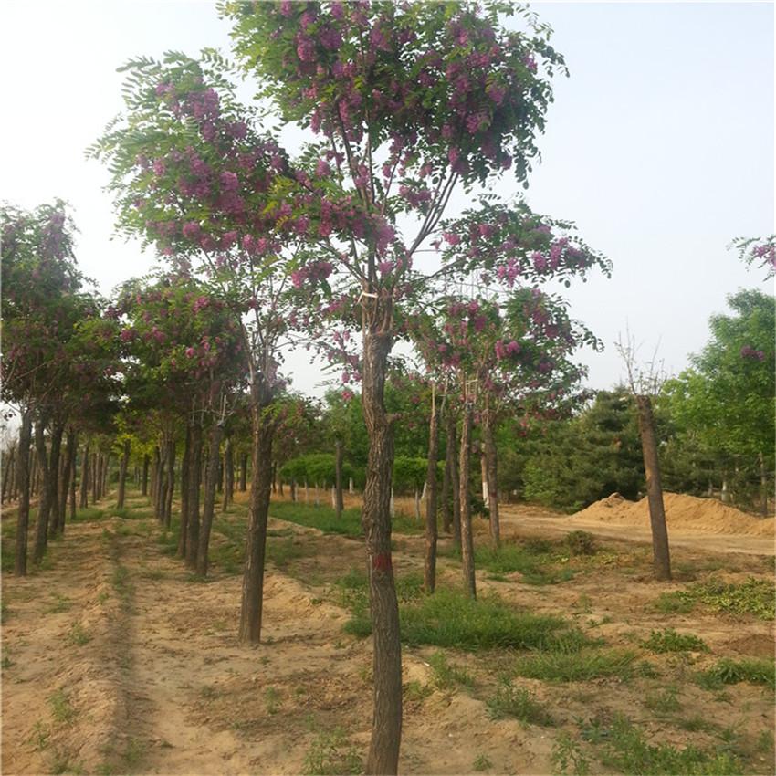 香花槐种植技术 香花槐树苗价格