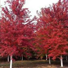 9公分美国红枫多少钱一棵美国红枫基地图片