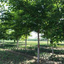 美国红枫十月光辉促销价格银庄苗木美国红枫图片