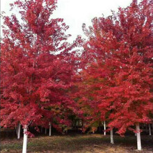 6公分美国红枫行情自产自销美国红枫图片
