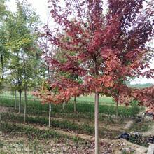 7公分美国红枫出售银庄苗木美国红枫图片