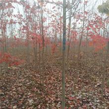 出售美国红枫秋火焰批发现挖现卖美国红枫图片