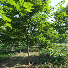 美国红枫树苗多少钱银庄苗木美国红枫图片