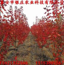 直销15公分美国红枫报价长期批发美国红枫图片