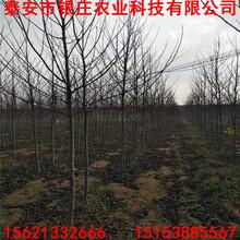 美国红枫扦插苗种植哪里有美国红枫图片