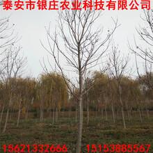 美国红枫扦插苗多少钱现挖现卖美国红枫图片