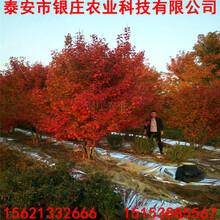 9公分美国红枫基地报价美国红枫哪里便宜图片