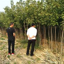 2年生美国红枫种植长期批发美国红枫图片