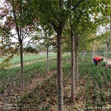 2年生美国红枫促销价格美国红枫基地图片