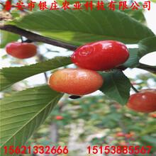 1公分樱桃苗价格新品种樱桃苗图片