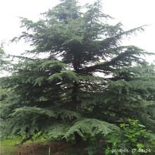 80公分雪松苗多少钱一棵直销8米雪松树图片