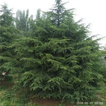 雪松幼苗哪里便宜雪松绿化工程苗图片