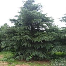 雪松哪里有卖的直销8米雪松树图片