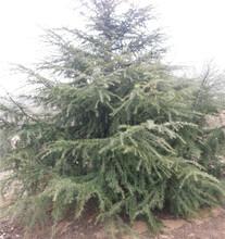 1.5公分雪松小苗、雪松种植方法图片