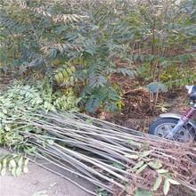 矮化红油香椿苗价格河南银庄农业低价出售香椿苗图片