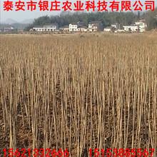 泰安红油香椿苗价格湖北香椿苗价格实惠图片