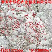 哪里有北美冬青北美冬青树苗批发价格图片