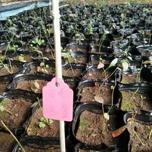 薄雾蓝莓苗哪个品种好蓝莓苗订购批发图片