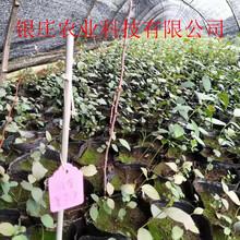 都克蓝莓苗哪里有卖长期供应蓝莓苗图片