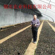 公爵蓝莓苗价格盆栽蓝莓苗图片