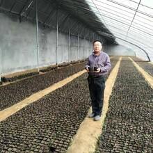 出售3年蓝莓苗促销价格优质蓝莓苗图片