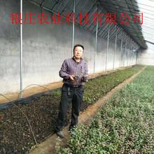 奥尼尔蓝莓苗种植方法优质蓝莓苗图片