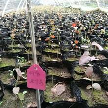 南高丛蓝莓苗批发当年结果蓝莓苗图片
