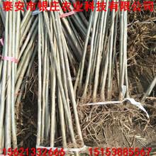 香椿树苗批发广东香椿苗量大从优图片