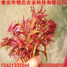 大棚香椿苗栽培湖北香椿苗价格实惠图片