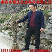 哪里出售杜仲苗杜仲小苗种植技术图片