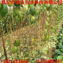 绿化基地供应杜仲苗杜仲树价格图片