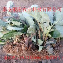 草莓苗批发山东四季草莓苗基地品种全图片