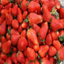 红颜草莓苗什么时候种草莓苗哪里便宜图片