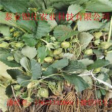 牛奶草莓苗多少钱一棵银庄农业草莓苗图片