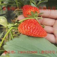 苗圃出售草莓苗天仙醉草莓苗种植方法图片