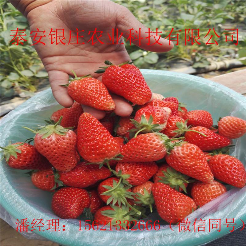 红颜草莓苗多少钱一棵 草莓苗哪里便宜