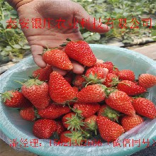 章姬草莓苗現挖現賣草莓苗大量出售圖片
