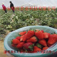 章姬草莓苗哪里有卖的草莓苗供应价格图片
