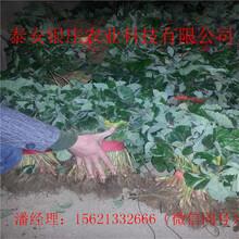 圣诞红草莓苗批发银庄农业草莓苗图片
