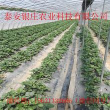 批发草莓苗草莓幼苗基地图片