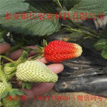 甜查理草莓苗现挖现卖自产自草莓苗图片