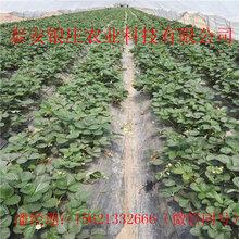 妙香七号草莓苗多少钱一棵长期批发草莓苗图片