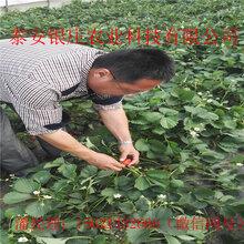 甜查理草莓苗种植方法草莓苗基地图片