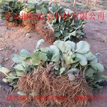 妙香七号草莓苗出售草莓苗基地图片