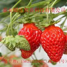 山东草莓苗红颜草莓苗多少钱图片